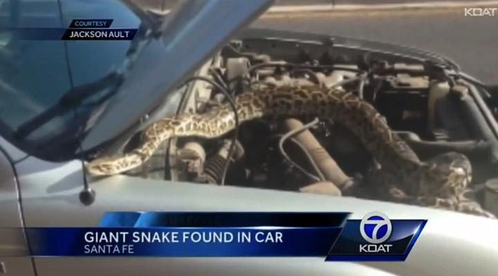boa constrictor en coche
