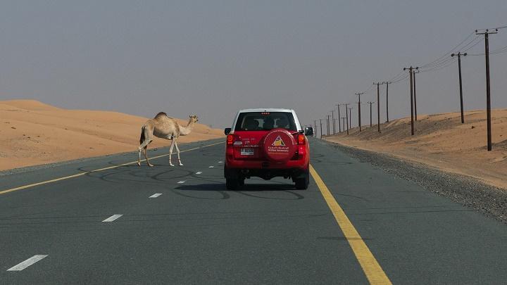 camello por la carretera