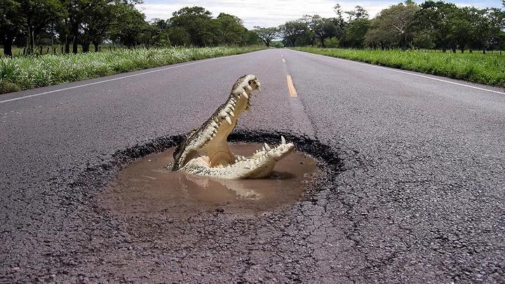 cocodrilo en la carretera
